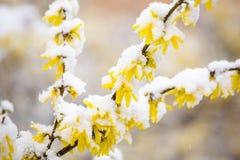 Gul forsythia som täckas av snö Arkivfoto
