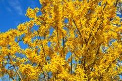 Gul forzition och blå himmel royaltyfria bilder