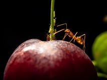 Gul galen myra att skydda bladlöss på körsbäret royaltyfria bilder