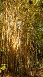 Gul gammal bambuskog Royaltyfri Fotografi