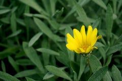 gul gazaniablomma med gröna sidor fotografering för bildbyråer