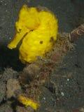 Gul gemensam Seahorse Royaltyfri Foto