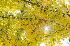 Gul ginkgo i hösten royaltyfri bild