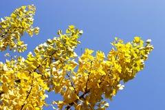 Gul ginkgobilobafilial med lövverk mot den blåa himlen, härlig höstbakgrund royaltyfria bilder