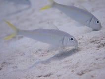 Gul Goatfish 01 Arkivbilder