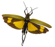 Gul gräshoppa Arkivfoton