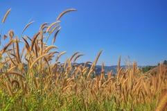 Gul grässlätt med blå himmel Arkivfoto