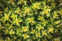 Gul grön sidamodellbakgrund Naturlig bakgrund och tapet royaltyfria foton