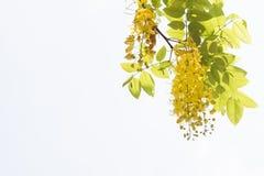 Gul guld- dusch, isolat för Cassiafistelblomma på vitbac Arkivfoto