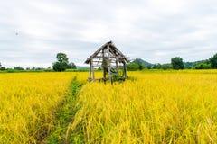 Gul guld för ris i Thailand Royaltyfri Fotografi