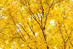 Gul höst i parkerastillebenplatsen Lönnträdfilial och sidor, himmelbakgrund naturlig skogliggande arkivfoto