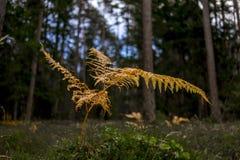 Gul höstbräken i en skog royaltyfri bild
