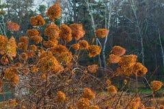 Gul höstbuske Fotografering för Bildbyråer