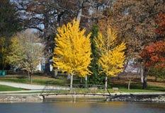 Gul hösttree Royaltyfri Foto
