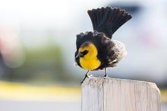 Gul hövdad Blackbird Royaltyfria Foton