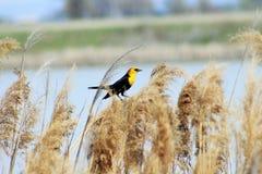 Gul hövdad svart fågel Arkivbild