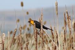 Gul hövdad svart fågel Royaltyfria Bilder