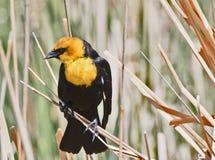 Gul hövdad svart fågel Royaltyfri Foto