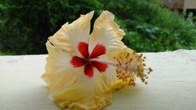 Gul hibiskus Fotografering för Bildbyråer