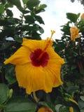 Gul hibiskus Royaltyfria Foton