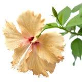Gul hibiskusblomma som isoleras på vit Arkivfoton