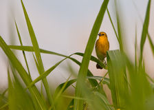 Gul-hooded Blackbird Royaltyfria Bilder