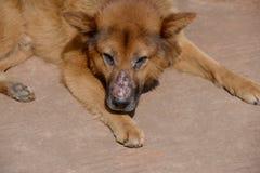 Gul hund med en biten näsa royaltyfri fotografi