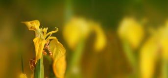 Gul Iris Iris pseudacorus 1 Royaltyfri Foto
