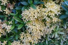 Gul Ixora blomma med det gröna bladet arkivfoto
