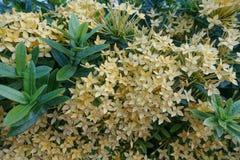 Gul Ixora blomma med det gröna bladet royaltyfri fotografi