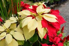 Gul julstjärna som är röd och Royaltyfri Foto