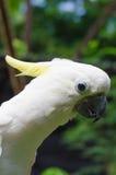 Gul kakadua (Cacatuasulphureaen) Royaltyfri Foto