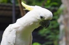 Gul kakadua (Cacatuasulphureaen) Royaltyfria Bilder