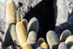 Gul kaktus Royaltyfri Fotografi