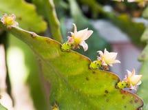Gul kaktus för taggigt päron av Nordamerika; krusidullar i torr varm ökenmiljö Royaltyfria Bilder