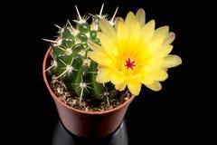 Gul kaktusblomma Royaltyfri Foto