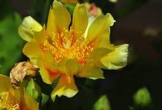 Gul kaktusblomma Arkivbilder
