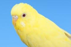 Gul kanariefågel royaltyfria bilder