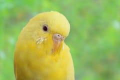 Gul kanariefågel Royaltyfri Foto