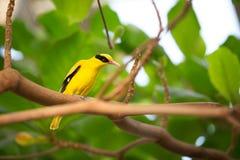 Gul kanariefågel Arkivfoton