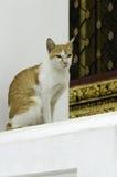 Gul katt i thailändsk tempel Royaltyfri Bild