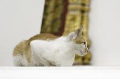 Gul katt i thailändsk tempel Royaltyfri Foto