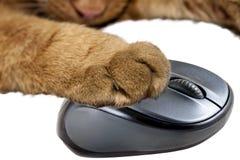Gul katt som rymmer en datormus Arkivfoton