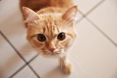 Gul katt som ser upp på kameran Arkivfoto