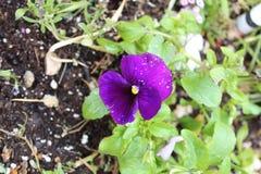 Gul knapp för purpurfärgad pensé arkivfoto