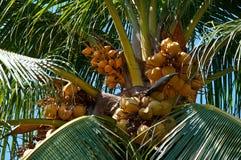 Gul kokosnöt Arkivbild