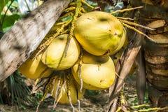 Gul kokosnöt Arkivfoton