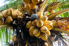 Gul kokosnöt på trädet Royaltyfri Fotografi
