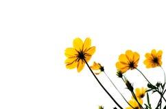 Gul kosmosflower& x28; Svavel Cosmos& x29; Fotografering för Bildbyråer