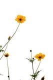 Gul kosmosflower& x28; Svavel Cosmos& x29; bakgrund Arkivbilder